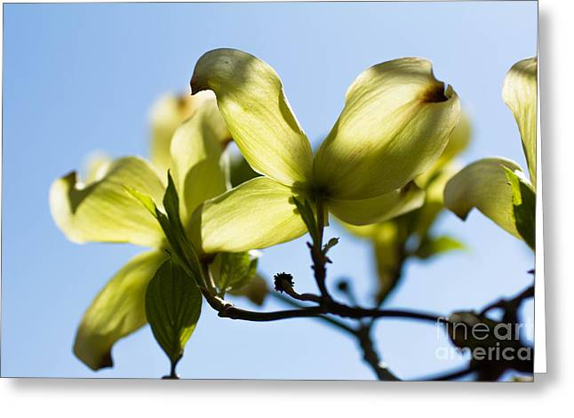 Dogwood Blossoms Greeting Card by Ursula Lawrence
