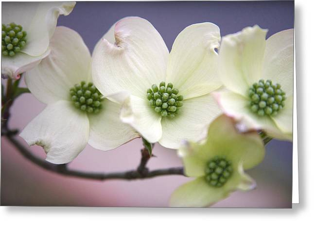 Dogwood Greeting Card by CarolLMiller Photography