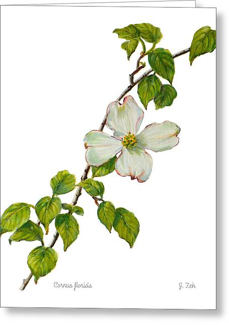Dogwood - Cornus Florida Greeting Card