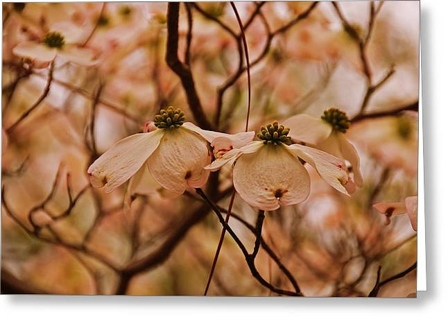 Greeting Card featuring the photograph Dogwood Day Afternoon by John Harding