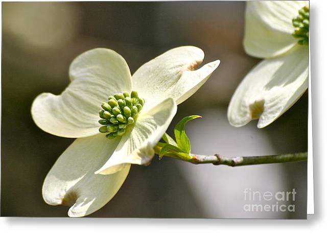 Dogwood Delight Greeting Card by Eve Spring