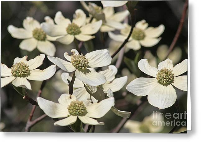 Dogwood Flowers Greeting Card by Kenny Bosak