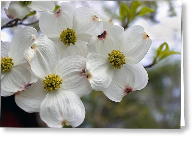 Dogwood In The Wind Greeting Card by Gene Walls