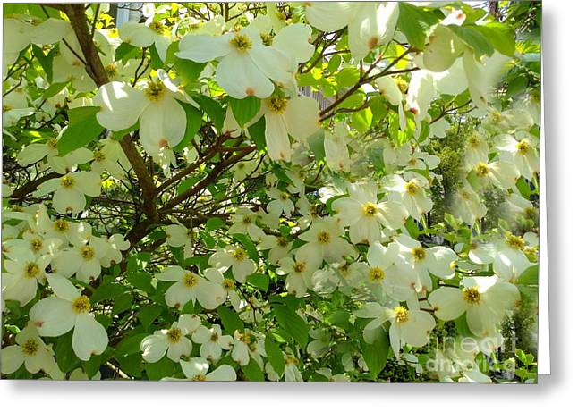 Greeting Card featuring the photograph Dogwood Kissed By The Sun by Becky Lupe
