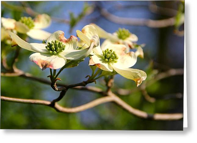 Dogwood Greeting Card by Tracy Male
