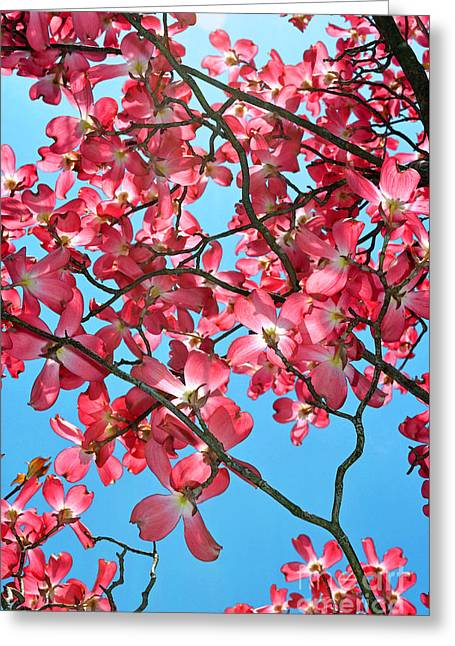 Dogwood Tree Flowers And Blue Sky Greeting Card