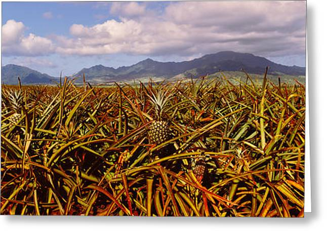 Dole Pineapple Farm, North Shore, Oahu Greeting Card by Panoramic Images