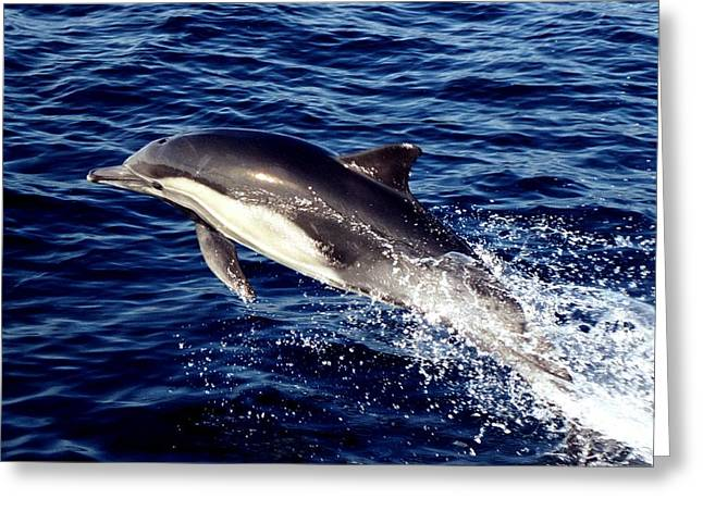Dolphin Near Channel Islands National Park Greeting Card by Jetson Nguyen