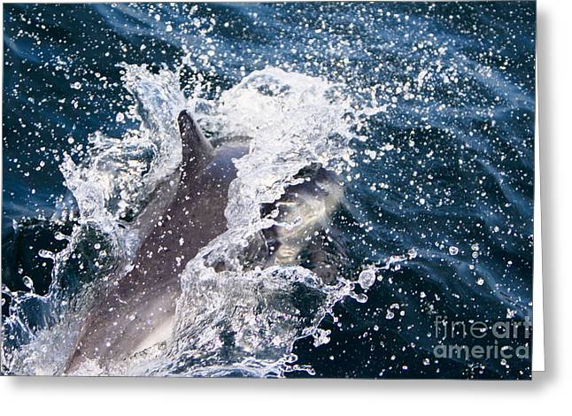Dolphin Splash Greeting Card