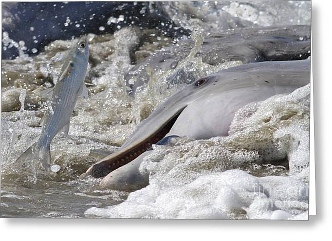 Dolphin Strand Feeding 2 Greeting Card