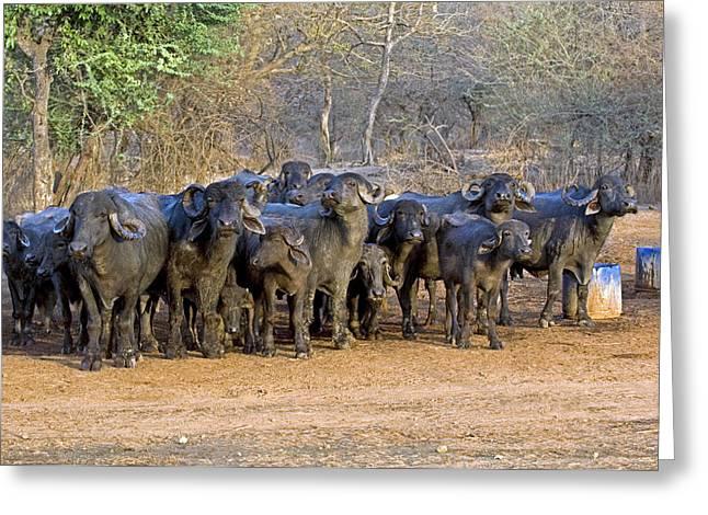 Domestic Asian Water Buffalo Herd Greeting Card