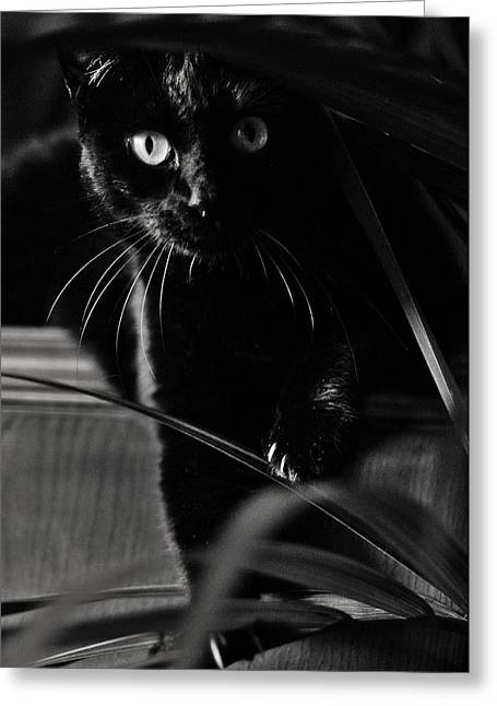 Domestic Black Panther Greeting Card