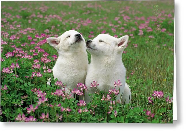 Domestic Dog Canis Familiaris Puppies Greeting Card by Yuzo Nakagawa