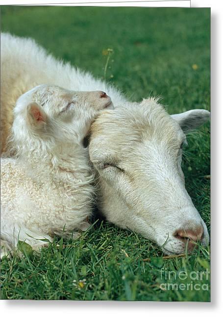 Domestic Sheep Greeting Card by Hans Reinhard