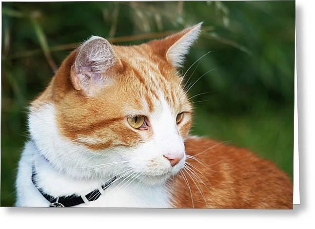 Domestic Shorthair Cat Marmalade Greeting Card
