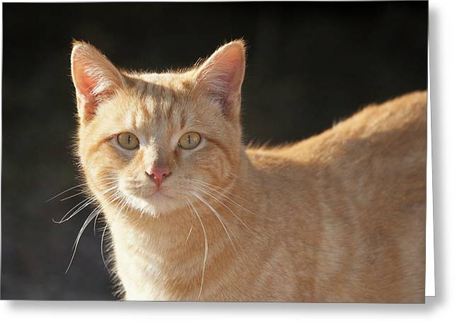 Domestic Shorthair Cat Greeting Card