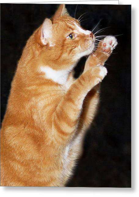 Domestic Shorthair Cat Up On Hind Legs Greeting Card