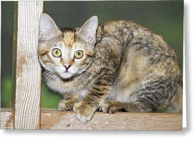 Domestic Shorthair Kitten Greeting Card