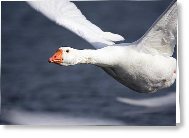 Domesticated Goose In Flight Greeting Card by John Devries/science Photo Library