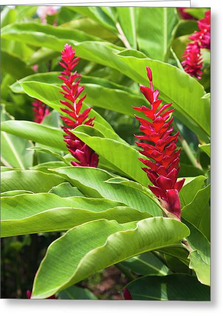 Dominica, Salybia, Red Ginger Flower Greeting Card