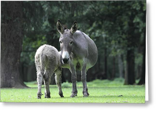 Donkey Suckles Its Young Greeting Card
