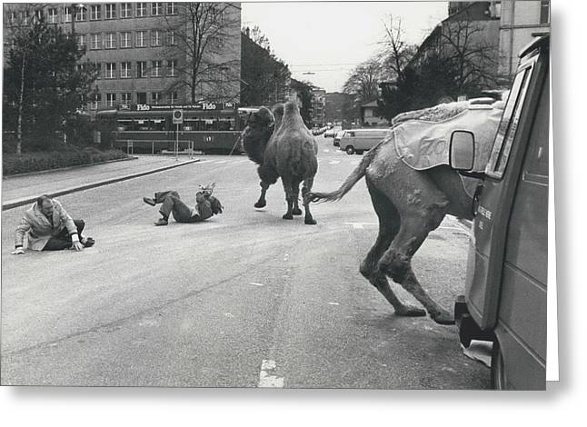 Don�t Move To New Address By Camels! Greeting Card by Retro Images Archive