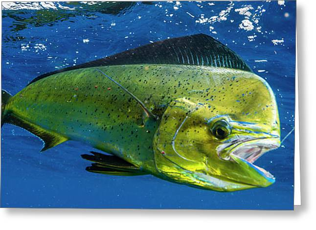 Dorado Coryphaena Hippurus Is Seen Greeting Card