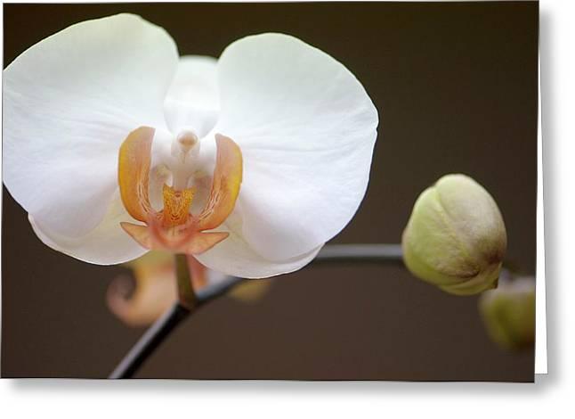 Doritaenopsis Martha Dolge Orchid Greeting Card