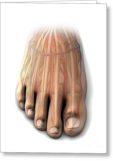 Dorsal Anatomy Of The Human Foot Greeting Card