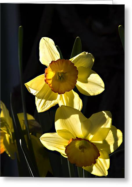 Greeting Card featuring the photograph Dos Daffs by Joe Schofield