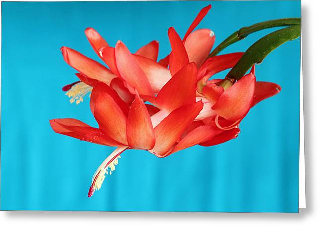 Double Bloom In Red Greeting Card