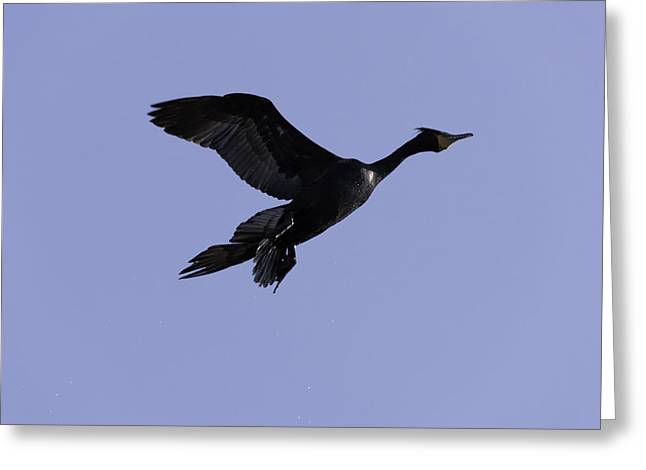 Double-crested Cormorant Coming In. Greeting Card