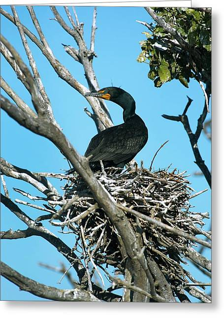 Double-crested Cormorant Nesting Greeting Card