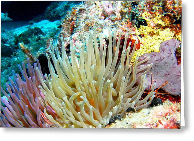 Greeting Card featuring the photograph Double Giant Anemone And Arrow Crab by Amy McDaniel