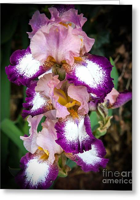 Double Iris Greeting Card by Sue Huffer