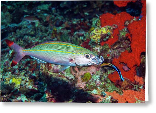 Double-lined Fusilier With Cleaner Wrasse Greeting Card by Georgette Douwma/science Photo Library