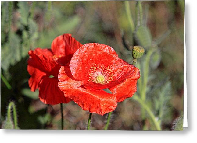 Double Poppies Greeting Card by Linda Phelps