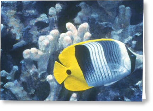 Double Saddleback Butterflyfish Greeting Card by Randall Scott