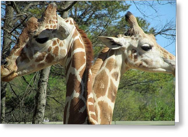 Giraffes With A Twist Greeting Card