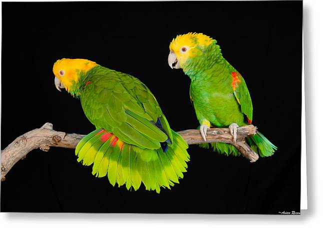 Double Yellow-headed Amazon Pair Greeting Card