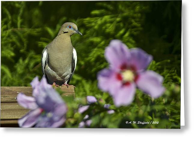 Dove And Althea Blossoms Greeting Card by Allen Sheffield