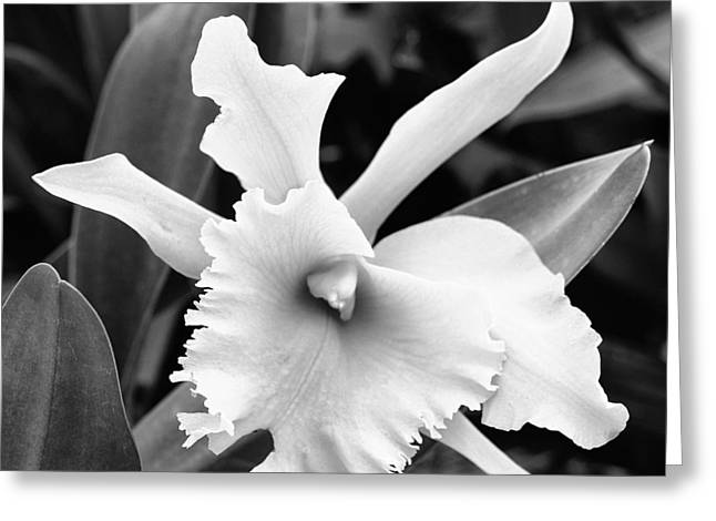 Dove Orchid Greeting Card by William Dey