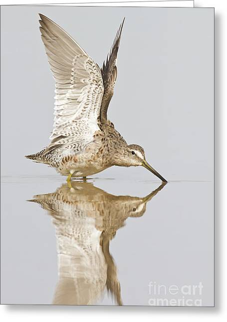 Dowitcher Wing Stretch Greeting Card by Bryan Keil