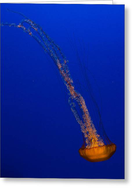 Downward Facing Pacific Sea Nettle 1 Greeting Card by Scott Campbell