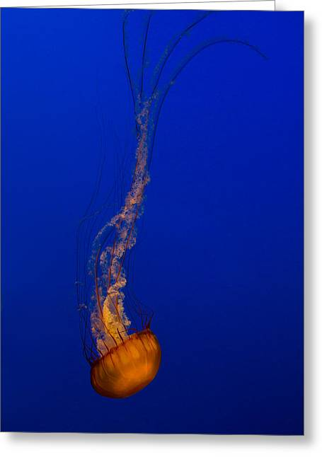 Downward Facing Pacific Sea Nettle 3 Greeting Card by Scott Campbell