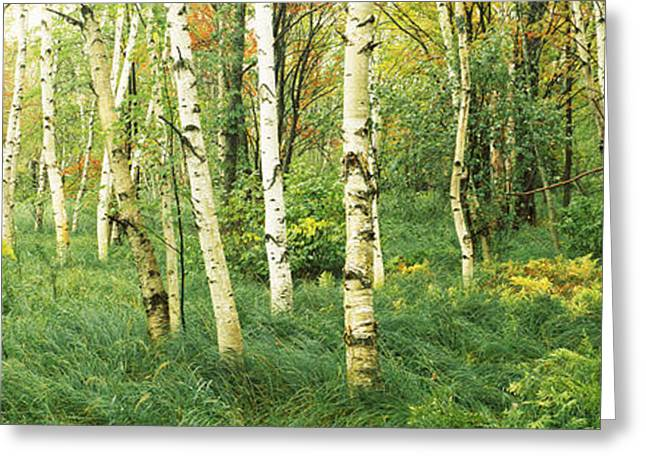 Downy Birch Betula Pubescens Trees Greeting Card by Panoramic Images