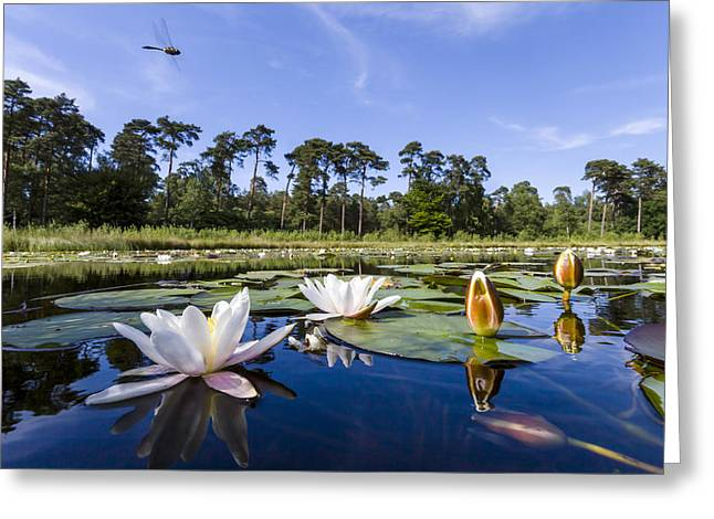 Downy Emerald Dragonfly Flying Over Lake Greeting Card by Alex Huizinga