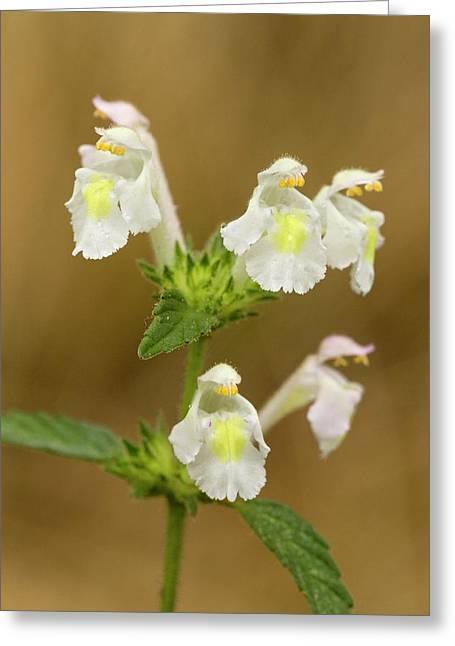 Downy Hemp-nettle (galeopsis Segetum) Greeting Card by Bob Gibbons