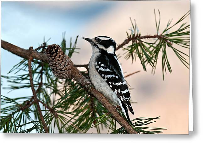 Downy In The Pines Greeting Card by Lara Ellis