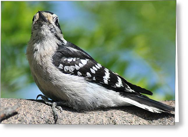Downy Woodpecker 302 Greeting Card